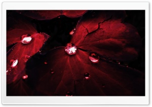 Red Leaves Macro HD Wide Wallpaper for Widescreen