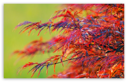Red Leaves Shrub HD wallpaper for Wide 16:10 5:3 Widescreen WHXGA WQXGA WUXGA WXGA WGA ; HD 16:9 High Definition WQHD QWXGA 1080p 900p 720p QHD nHD ; Standard 4:3 5:4 3:2 Fullscreen UXGA XGA SVGA QSXGA SXGA DVGA HVGA HQVGA devices ( Apple PowerBook G4 iPhone 4 3G 3GS iPod Touch ) ; Tablet 1:1 ; iPad 1/2/Mini ; Mobile 4:3 5:3 3:2 16:9 5:4 - UXGA XGA SVGA WGA DVGA HVGA HQVGA devices ( Apple PowerBook G4 iPhone 4 3G 3GS iPod Touch ) WQHD QWXGA 1080p 900p 720p QHD nHD QSXGA SXGA ;