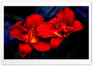 Red Lilies HD Wide Wallpaper for Widescreen