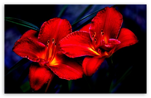 Red Lilies HD wallpaper for Wide 16:10 5:3 Widescreen WHXGA WQXGA WUXGA WXGA WGA ; HD 16:9 High Definition WQHD QWXGA 1080p 900p 720p QHD nHD ; UHD 16:9 WQHD QWXGA 1080p 900p 720p QHD nHD ; Standard 4:3 5:4 3:2 Fullscreen UXGA XGA SVGA QSXGA SXGA DVGA HVGA HQVGA devices ( Apple PowerBook G4 iPhone 4 3G 3GS iPod Touch ) ; iPad 1/2/Mini ; Mobile 4:3 5:3 3:2 16:9 5:4 - UXGA XGA SVGA WGA DVGA HVGA HQVGA devices ( Apple PowerBook G4 iPhone 4 3G 3GS iPod Touch ) WQHD QWXGA 1080p 900p 720p QHD nHD QSXGA SXGA ;