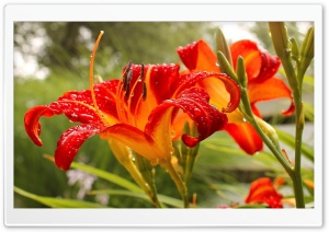 Red Lily HD Wide Wallpaper for Widescreen