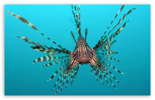 Red Lionfish HD wallpaper for Wide 16:10 5:3 Widescreen WHXGA WQXGA WUXGA WXGA WGA ; HD 16:9 High Definition WQHD QWXGA 1080p 900p 720p QHD nHD ; Standard 4:3 5:4 3:2 Fullscreen UXGA XGA SVGA QSXGA SXGA DVGA HVGA HQVGA devices ( Apple PowerBook G4 iPhone 4 3G 3GS iPod Touch ) ; iPad 1/2/Mini ; Mobile 4:3 5:3 3:2 5:4 - UXGA XGA SVGA WGA DVGA HVGA HQVGA devices ( Apple PowerBook G4 iPhone 4 3G 3GS iPod Touch ) QSXGA SXGA ;