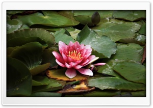 Red Lotus Resting On The Pond HD Wide Wallpaper for Widescreen