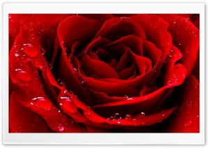 Red Love Rose HD Wide Wallpaper for Widescreen