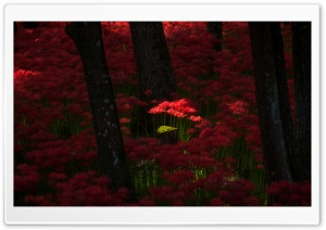 Red Magic Lilies HD Wide Wallpaper for Widescreen