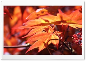 Red Maple HD Wide Wallpaper for Widescreen