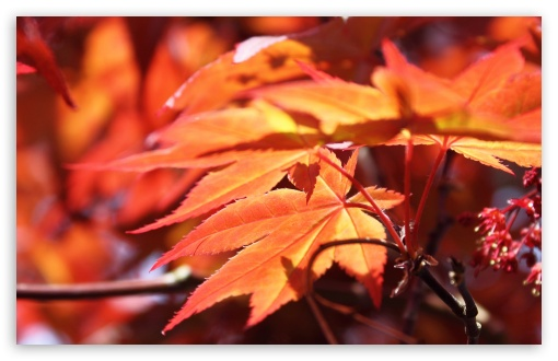 Red Maple HD wallpaper for Wide 16:10 5:3 Widescreen WHXGA WQXGA WUXGA WXGA WGA ; HD 16:9 High Definition WQHD QWXGA 1080p 900p 720p QHD nHD ; Standard 4:3 5:4 3:2 Fullscreen UXGA XGA SVGA QSXGA SXGA DVGA HVGA HQVGA devices ( Apple PowerBook G4 iPhone 4 3G 3GS iPod Touch ) ; Tablet 1:1 ; iPad 1/2/Mini ; Mobile 4:3 5:3 3:2 16:9 5:4 - UXGA XGA SVGA WGA DVGA HVGA HQVGA devices ( Apple PowerBook G4 iPhone 4 3G 3GS iPod Touch ) WQHD QWXGA 1080p 900p 720p QHD nHD QSXGA SXGA ;
