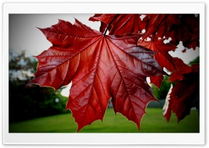 Red Maple Leaf HD Wide Wallpaper for Widescreen