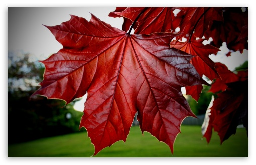 Red Maple Leaf HD wallpaper for Wide 16:10 5:3 Widescreen WHXGA WQXGA WUXGA WXGA WGA ; HD 16:9 High Definition WQHD QWXGA 1080p 900p 720p QHD nHD ; Standard 4:3 5:4 3:2 Fullscreen UXGA XGA SVGA QSXGA SXGA DVGA HVGA HQVGA devices ( Apple PowerBook G4 iPhone 4 3G 3GS iPod Touch ) ; Tablet 1:1 ; iPad 1/2/Mini ; Mobile 4:3 5:3 3:2 16:9 5:4 - UXGA XGA SVGA WGA DVGA HVGA HQVGA devices ( Apple PowerBook G4 iPhone 4 3G 3GS iPod Touch ) WQHD QWXGA 1080p 900p 720p QHD nHD QSXGA SXGA ;