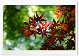 Red Maple Tree HD Wide Wallpaper for Widescreen