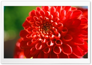 Red Mum Flower HD Wide Wallpaper for Widescreen