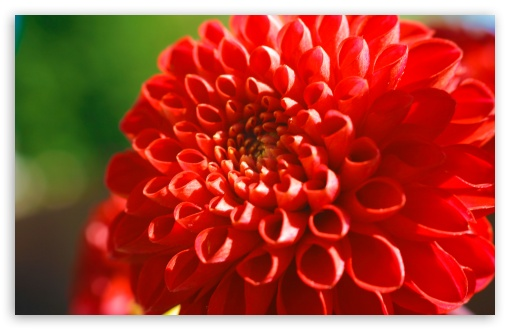Red Mum Flower HD wallpaper for Wide 16:10 5:3 Widescreen WHXGA WQXGA WUXGA WXGA WGA ; HD 16:9 High Definition WQHD QWXGA 1080p 900p 720p QHD nHD ; UHD 16:9 WQHD QWXGA 1080p 900p 720p QHD nHD ; Standard 4:3 5:4 3:2 Fullscreen UXGA XGA SVGA QSXGA SXGA DVGA HVGA HQVGA devices ( Apple PowerBook G4 iPhone 4 3G 3GS iPod Touch ) ; Tablet 1:1 ; iPad 1/2/Mini ; Mobile 4:3 5:3 3:2 16:9 5:4 - UXGA XGA SVGA WGA DVGA HVGA HQVGA devices ( Apple PowerBook G4 iPhone 4 3G 3GS iPod Touch ) WQHD QWXGA 1080p 900p 720p QHD nHD QSXGA SXGA ;