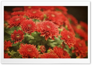 Red Mums Flowers HD Wide Wallpaper for 4K UHD Widescreen desktop & smartphone