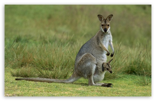 Red Necked Wallaby Macropus Rufogriseus Mother With Baby Bunya Mountains National Park Australia HD wallpaper for Wide 16:10 5:3 Widescreen WHXGA WQXGA WUXGA WXGA WGA ; HD 16:9 High Definition WQHD QWXGA 1080p 900p 720p QHD nHD ; Standard 4:3 5:4 3:2 Fullscreen UXGA XGA SVGA QSXGA SXGA DVGA HVGA HQVGA devices ( Apple PowerBook G4 iPhone 4 3G 3GS iPod Touch ) ; iPad 1/2/Mini ; Mobile 4:3 5:3 3:2 16:9 5:4 - UXGA XGA SVGA WGA DVGA HVGA HQVGA devices ( Apple PowerBook G4 iPhone 4 3G 3GS iPod Touch ) WQHD QWXGA 1080p 900p 720p QHD nHD QSXGA SXGA ;
