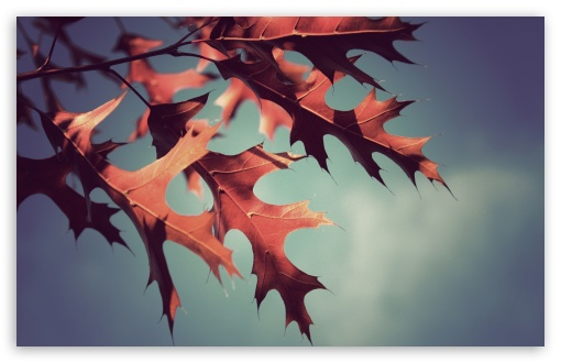 Red Oak Leaves ❤ 4K UHD Wallpaper for Wide 16:10 5:3 Widescreen WHXGA WQXGA WUXGA WXGA WGA ; 4K UHD 16:9 Ultra High Definition 2160p 1440p 1080p 900p 720p ; Standard 4:3 5:4 3:2 Fullscreen UXGA XGA SVGA QSXGA SXGA DVGA HVGA HQVGA ( Apple PowerBook G4 iPhone 4 3G 3GS iPod Touch ) ; Tablet 1:1 ; iPad 1/2/Mini ; Mobile 4:3 5:3 3:2 16:9 5:4 - UXGA XGA SVGA WGA DVGA HVGA HQVGA ( Apple PowerBook G4 iPhone 4 3G 3GS iPod Touch ) 2160p 1440p 1080p 900p 720p QSXGA SXGA ;