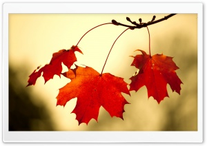 Red Oak Leaves Close Up HD Wide Wallpaper for Widescreen