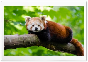 Red Panda HD Wide Wallpaper for Widescreen
