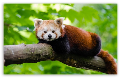 Red Panda HD wallpaper for Wide 16:10 5:3 Widescreen WHXGA WQXGA WUXGA WXGA WGA ; UltraWide 21:9 24:10 ; HD 16:9 High Definition WQHD QWXGA 1080p 900p 720p QHD nHD ; UHD 16:9 WQHD QWXGA 1080p 900p 720p QHD nHD ; Standard 4:3 5:4 3:2 Fullscreen UXGA XGA SVGA QSXGA SXGA DVGA HVGA HQVGA devices ( Apple PowerBook G4 iPhone 4 3G 3GS iPod Touch ) ; Smartphone 16:9 3:2 5:3 WQHD QWXGA 1080p 900p 720p QHD nHD DVGA HVGA HQVGA devices ( Apple PowerBook G4 iPhone 4 3G 3GS iPod Touch ) WGA ; Tablet 1:1 ; iPad 1/2/Mini ; Mobile 4:3 5:3 3:2 16:9 5:4 - UXGA XGA SVGA WGA DVGA HVGA HQVGA devices ( Apple PowerBook G4 iPhone 4 3G 3GS iPod Touch ) WQHD QWXGA 1080p 900p 720p QHD nHD QSXGA SXGA ;