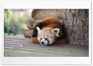 Red Panda Ultra HD Wallpaper for 4K UHD Widescreen desktop, tablet & smartphone