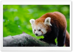 Red Panda In Tree HD Wide Wallpaper for 4K UHD Widescreen desktop & smartphone
