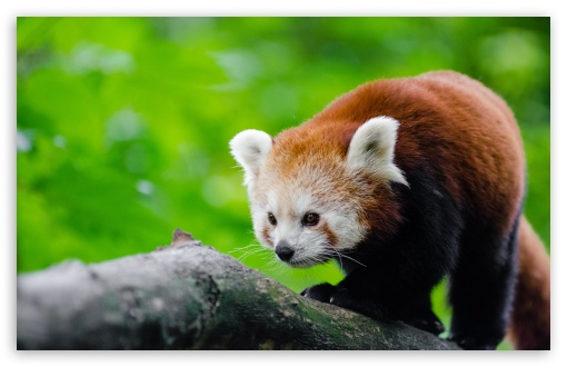 Red Panda In Tree HD wallpaper for Wide 16:10 5:3 Widescreen WHXGA WQXGA WUXGA WXGA WGA ; HD 16:9 High Definition WQHD QWXGA 1080p 900p 720p QHD nHD ; UHD 16:9 WQHD QWXGA 1080p 900p 720p QHD nHD ; Standard 4:3 5:4 3:2 Fullscreen UXGA XGA SVGA QSXGA SXGA DVGA HVGA HQVGA devices ( Apple PowerBook G4 iPhone 4 3G 3GS iPod Touch ) ; Smartphone 16:9 3:2 5:3 WQHD QWXGA 1080p 900p 720p QHD nHD DVGA HVGA HQVGA devices ( Apple PowerBook G4 iPhone 4 3G 3GS iPod Touch ) WGA ; Tablet 1:1 ; iPad 1/2/Mini ; Mobile 4:3 5:3 3:2 16:9 5:4 - UXGA XGA SVGA WGA DVGA HVGA HQVGA devices ( Apple PowerBook G4 iPhone 4 3G 3GS iPod Touch ) WQHD QWXGA 1080p 900p 720p QHD nHD QSXGA SXGA ;