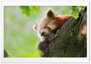 Red Panda Sleeping HD Wide Wallpaper for Widescreen