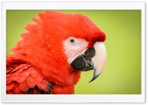 Red Parrot HD Wide Wallpaper for 4K UHD Widescreen desktop & smartphone