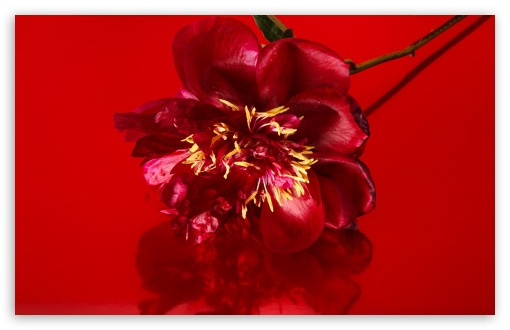 Red Peony Flower, Aesthetic UltraHD Wallpaper for Wide 16:10 5:3 Widescreen WHXGA WQXGA WUXGA WXGA WGA ; UltraWide 21:9 24:10 ; 8K UHD TV 16:9 Ultra High Definition 2160p 1440p 1080p 900p 720p ; UHD 16:9 2160p 1440p 1080p 900p 720p ; Standard 4:3 5:4 3:2 Fullscreen UXGA XGA SVGA QSXGA SXGA DVGA HVGA HQVGA ( Apple PowerBook G4 iPhone 4 3G 3GS iPod Touch ) ; Tablet 1:1 ; iPad 1/2/Mini ; Mobile 4:3 5:3 3:2 16:9 5:4 - UXGA XGA SVGA WGA DVGA HVGA HQVGA ( Apple PowerBook G4 iPhone 4 3G 3GS iPod Touch ) 2160p 1440p 1080p 900p 720p QSXGA SXGA ;