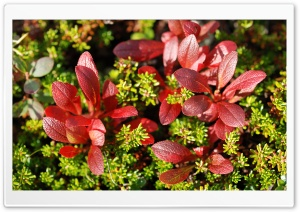 Red Plant Macro HD Wide Wallpaper for Widescreen