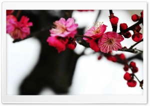 Red Plum Blossom Ultra HD Wallpaper for 4K UHD Widescreen desktop, tablet & smartphone