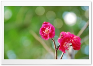 Red Plum Blossoms HD Wide Wallpaper for Widescreen
