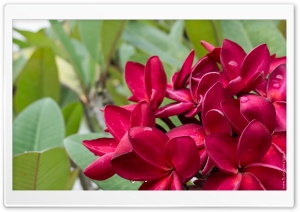 Red Plumeria Flowers HD Wide Wallpaper for Widescreen