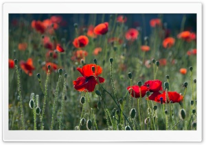 Red Poppies HD Wide Wallpaper for 4K UHD Widescreen desktop & smartphone
