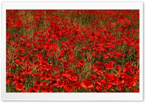 Red Poppies HD Wide Wallpaper for Widescreen