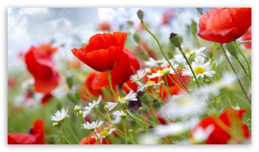 Red poppies UltraHD Wallpaper for 8K UHD TV 16:9 Ultra High Definition 2160p 1440p 1080p 900p 720p ; Mobile 16:9 - 2160p 1440p 1080p 900p 720p ;