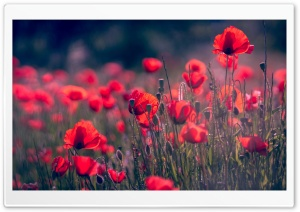 Red Poppies Field, Wild Flowers HD Wide Wallpaper for 4K UHD Widescreen desktop & smartphone