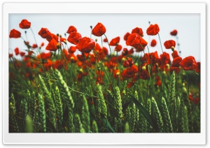 Red Poppies, Green Field HD Wide Wallpaper for 4K UHD Widescreen desktop & smartphone