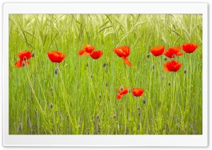 Red Poppies, Green Wheat Field HD Wide Wallpaper for Widescreen