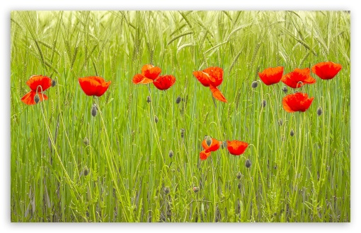 Red Poppies, Green Wheat Field ❤ 4K UHD Wallpaper for Wide 16:10 5:3 Widescreen WHXGA WQXGA WUXGA WXGA WGA ; 4K UHD 16:9 Ultra High Definition 2160p 1440p 1080p 900p 720p ; Standard 4:3 5:4 Fullscreen UXGA XGA SVGA QSXGA SXGA ; Smartphone 5:3 WGA ; Tablet 1:1 ; iPad 1/2/Mini ; Mobile 4:3 5:3 3:2 16:9 5:4 - UXGA XGA SVGA WGA DVGA HVGA HQVGA ( Apple PowerBook G4 iPhone 4 3G 3GS iPod Touch ) 2160p 1440p 1080p 900p 720p QSXGA SXGA ;