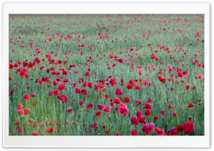 Red Poppies Yonne France HD Wide Wallpaper for Widescreen