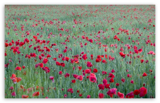Red Poppies Yonne France HD wallpaper for Wide 16:10 5:3 Widescreen WHXGA WQXGA WUXGA WXGA WGA ; HD 16:9 High Definition WQHD QWXGA 1080p 900p 720p QHD nHD ; Standard 4:3 5:4 3:2 Fullscreen UXGA XGA SVGA QSXGA SXGA DVGA HVGA HQVGA devices ( Apple PowerBook G4 iPhone 4 3G 3GS iPod Touch ) ; Tablet 1:1 ; iPad 1/2/Mini ; Mobile 4:3 5:3 3:2 16:9 5:4 - UXGA XGA SVGA WGA DVGA HVGA HQVGA devices ( Apple PowerBook G4 iPhone 4 3G 3GS iPod Touch ) WQHD QWXGA 1080p 900p 720p QHD nHD QSXGA SXGA ;