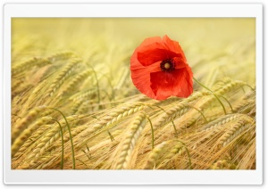Red Poppy HD Wide Wallpaper for Widescreen