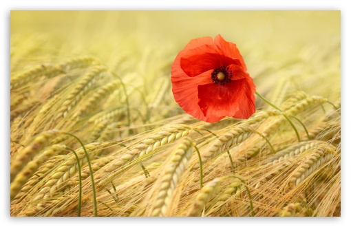 Red Poppy ❤ 4K UHD Wallpaper for Wide 16:10 5:3 Widescreen WHXGA WQXGA WUXGA WXGA WGA ; UltraWide 21:9 24:10 ; 4K UHD 16:9 Ultra High Definition 2160p 1440p 1080p 900p 720p ; UHD 16:9 2160p 1440p 1080p 900p 720p ; Standard 4:3 5:4 3:2 Fullscreen UXGA XGA SVGA QSXGA SXGA DVGA HVGA HQVGA ( Apple PowerBook G4 iPhone 4 3G 3GS iPod Touch ) ; Smartphone 16:9 3:2 5:3 2160p 1440p 1080p 900p 720p DVGA HVGA HQVGA ( Apple PowerBook G4 iPhone 4 3G 3GS iPod Touch ) WGA ; Tablet 1:1 ; iPad 1/2/Mini ; Mobile 4:3 5:3 3:2 16:9 5:4 - UXGA XGA SVGA WGA DVGA HVGA HQVGA ( Apple PowerBook G4 iPhone 4 3G 3GS iPod Touch ) 2160p 1440p 1080p 900p 720p QSXGA SXGA ; Dual 16:10 5:3 16:9 4:3 5:4 3:2 WHXGA WQXGA WUXGA WXGA WGA 2160p 1440p 1080p 900p 720p UXGA XGA SVGA QSXGA SXGA DVGA HVGA HQVGA ( Apple PowerBook G4 iPhone 4 3G 3GS iPod Touch ) ;