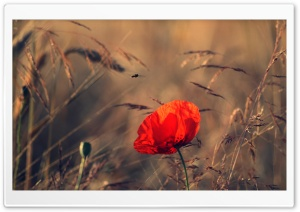 Red Poppy HD Wide Wallpaper for 4K UHD Widescreen desktop & smartphone