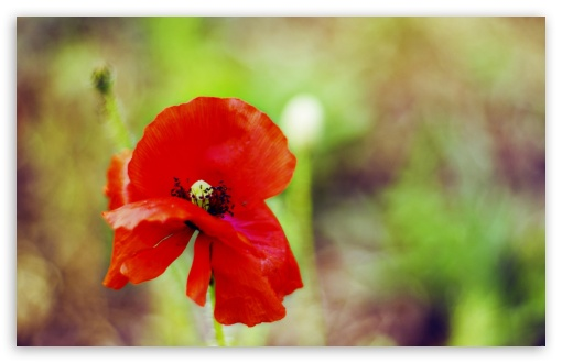 Red Poppy HD wallpaper for Wide 16:10 5:3 Widescreen WHXGA WQXGA WUXGA WXGA WGA ; HD 16:9 High Definition WQHD QWXGA 1080p 900p 720p QHD nHD ; Standard 4:3 5:4 3:2 Fullscreen UXGA XGA SVGA QSXGA SXGA DVGA HVGA HQVGA devices ( Apple PowerBook G4 iPhone 4 3G 3GS iPod Touch ) ; Tablet 1:1 ; iPad 1/2/Mini ; Mobile 4:3 5:3 3:2 16:9 5:4 - UXGA XGA SVGA WGA DVGA HVGA HQVGA devices ( Apple PowerBook G4 iPhone 4 3G 3GS iPod Touch ) WQHD QWXGA 1080p 900p 720p QHD nHD QSXGA SXGA ;