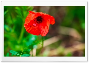 Red poppy Ultra HD Wallpaper for 4K UHD Widescreen desktop, tablet & smartphone