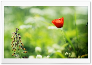 Red Poppy Close Up HD Wide Wallpaper for Widescreen
