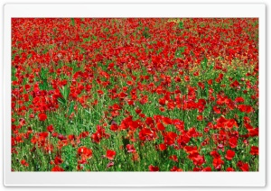 Red Poppy Field HD Wide Wallpaper for Widescreen