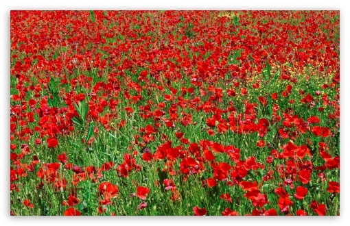 Red Poppy Field HD wallpaper for Wide 16:10 5:3 Widescreen WHXGA WQXGA WUXGA WXGA WGA ; HD 16:9 High Definition WQHD QWXGA 1080p 900p 720p QHD nHD ; Standard 4:3 5:4 3:2 Fullscreen UXGA XGA SVGA QSXGA SXGA DVGA HVGA HQVGA devices ( Apple PowerBook G4 iPhone 4 3G 3GS iPod Touch ) ; Tablet 1:1 ; iPad 1/2/Mini ; Mobile 4:3 5:3 3:2 16:9 5:4 - UXGA XGA SVGA WGA DVGA HVGA HQVGA devices ( Apple PowerBook G4 iPhone 4 3G 3GS iPod Touch ) WQHD QWXGA 1080p 900p 720p QHD nHD QSXGA SXGA ; Dual 16:10 5:3 5:4 WHXGA WQXGA WUXGA WXGA WGA QSXGA SXGA ;