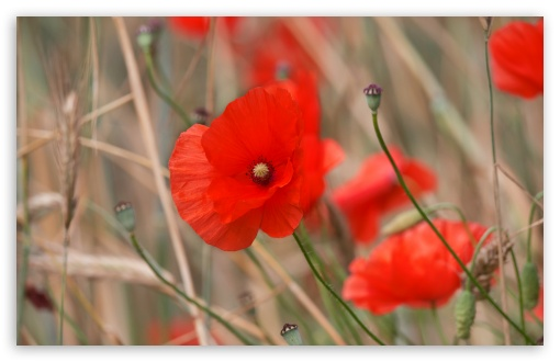 Red Poppy Field Flowers ❤ 4K UHD Wallpaper for Wide 16:10 5:3 Widescreen WHXGA WQXGA WUXGA WXGA WGA ; UltraWide 21:9 ; 4K UHD 16:9 Ultra High Definition 2160p 1440p 1080p 900p 720p ; Standard 4:3 5:4 3:2 Fullscreen UXGA XGA SVGA QSXGA SXGA DVGA HVGA HQVGA ( Apple PowerBook G4 iPhone 4 3G 3GS iPod Touch ) ; Smartphone 16:9 3:2 5:3 2160p 1440p 1080p 900p 720p DVGA HVGA HQVGA ( Apple PowerBook G4 iPhone 4 3G 3GS iPod Touch ) WGA ; Tablet 1:1 ; iPad 1/2/Mini ; Mobile 4:3 5:3 3:2 16:9 5:4 - UXGA XGA SVGA WGA DVGA HVGA HQVGA ( Apple PowerBook G4 iPhone 4 3G 3GS iPod Touch ) 2160p 1440p 1080p 900p 720p QSXGA SXGA ; Dual 16:10 5:3 16:9 4:3 5:4 3:2 WHXGA WQXGA WUXGA WXGA WGA 2160p 1440p 1080p 900p 720p UXGA XGA SVGA QSXGA SXGA DVGA HVGA HQVGA ( Apple PowerBook G4 iPhone 4 3G 3GS iPod Touch ) ;